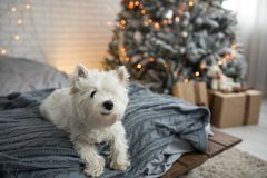 West Highland white terrier dog near fir tree Christmas. Westie dog on bed with pillows gift box led lamps stock photography