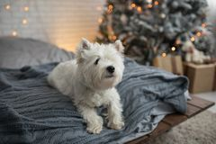 West Highland white terrier dog near fir tree Christmas. Westie dog on bed with pillows gift box led lamps stock photo
