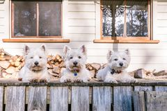 West highland white terrier dog pack laying in a row on old wood. En timber verandah deck of a rural Queenslander villa style house in New Zealand NZ with Stock Image