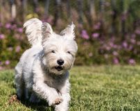 West Highland White Terrier dog Running on Green Grass. A photograph of a west highland white terrier dog running on the green grass close up Stock Photo