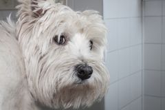 West highland white terrier dog Royalty Free Stock Images