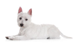 West highland white terrier dog Stock Images