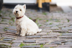 West highland white terrier dog. West highland white terrier sitting dog Stock Photos