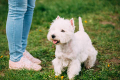 West Highland White Terrier Dog Sitting At Feet Of Owner In Green Grass. West Highland White Terrier Dog Sitting At Feet Of Owner In Green Summer Grass. West Stock Photography