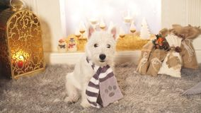 West highland white terrier dog sitting by the fireplace on Christmas. stock video