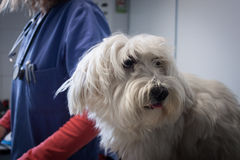 West highland white terrier dog with veterinarian Royalty Free Stock Images