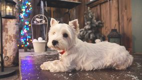 West highland white terrier dog waiting for Christmas. stock video