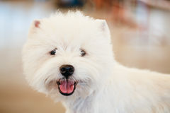 West Highland White Terrier Dog Royalty Free Stock Photos
