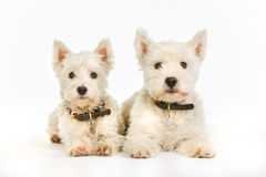 West Highland White Terrier dogs Stock Images