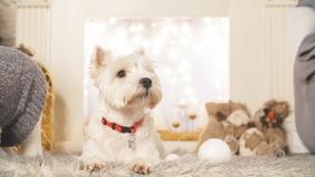 West highland white terrier dogs waiting for Christmas stock video footage