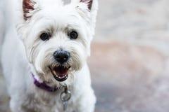 West Highland White Terrier-Gesichts-Abschluss oben Lizenzfreies Stockbild