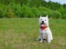 West highland white terrier. West highland white terrier in the grass. Summertime stock photos