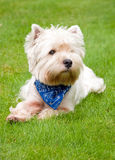 West highland white terrier on the green grass.  stock photo