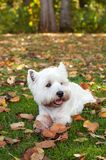 West highland white terrier on the green grass Stock Image