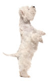 West highland white terrier on hind legs royalty free stock photo