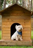 West highland white terrier in the hut. West highland white terrier it the hut royalty free stock images