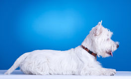 West highland white terrier laying down Stock Photos