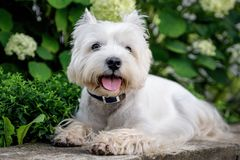 West Highland White Terrier. West Highland White A terrier lies in front of a flower bed with flowers royalty free stock images