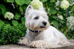 West Highland White Terrier. West Highland White A terrier lies in front of a flower bed with flowers royalty free stock photo