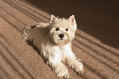 West highland white Terrier lies at home on the carpet.  royalty free stock photography