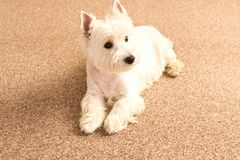 West highland white Terrier lies at home on the carpet. Best fri. End. Close up stock photo