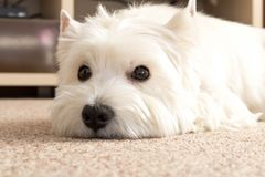 West highland white Terrier lies at home on the carpet. Best fri. End. Close up royalty free stock photo