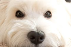 West highland white Terrier lies at home on the carpet. Best fri. End. Close up royalty free stock image