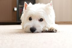 West highland white Terrier lies at home on the carpet. Best fri. End. Close up royalty free stock photos