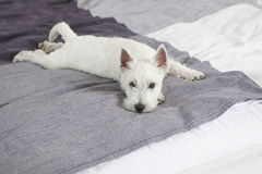 The West Highland White Terrier  lying on bed Royalty Free Stock Photography