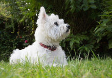 West Highland white terrier lying on the grass Royalty Free Stock Photos