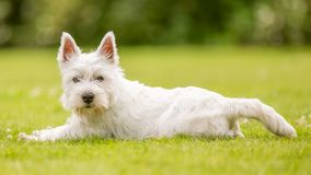 West Highland White Terrier lying on the grass looking at the camera. In a park field or in the countryside. Front paws stretched out. against green teeth royalty free stock photos
