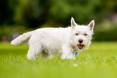 West Highland White Terrier with mouth open looking at camera. In the park, countryside or field. Teeth, nose, ears, tail and eyes showing. Puppy. cute stock photo