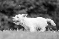 West Highland White Terrier with mouth open running across a field. In the park, countryside or field. Teeth, nose, ears, tail and eyes showing. Puppy. cute royalty free stock images
