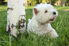 West Highland White Terrier. Outdoor scene royalty free stock image