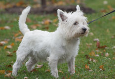 West highland white terrier. Outside stock photos