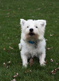 West Highland White Terrier. Outside Stock Image