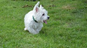 West highland white terrier in the park stock image