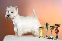 West highland white terrier. Poising on studio royalty free stock photo