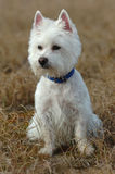 West highland white terrier portrait Royalty Free Stock Images