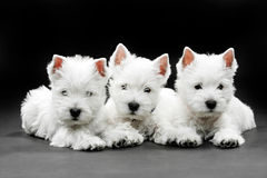 West Highland White Terrier puppies Stock Images