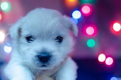 West highland white terrier puppies. Dog on a checkered color background. Puppy playing with Christmas toys stock image