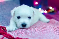 West highland white terrier puppies. Dog on a checkered color background. Puppy playing with Christmas toys royalty free stock images