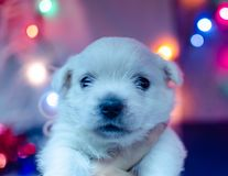 West highland white terrier puppies. stock photos