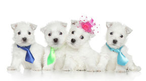 West Highland White Terrier puppies Stock Photos