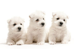 West highland white terrier puppies Stock Image