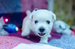 West highland white terrier puppies. Dog on a checkered color background. Puppy playing with Christmas toys royalty free stock photos