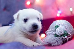 West highland white terrier puppies. Dog on a checkered color background. Puppy playing with Christmas toys royalty free stock photography