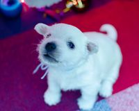 West highland white terrier puppies. Dog on a checkered color background. Puppy playing with Christmas toys stock photo