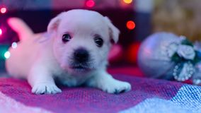 West highland white terrier puppies. Dog on a checkered color background. Puppy playing with Christmas toys stock images