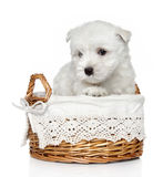 West Highland White Terrier puppy (1 month) Royalty Free Stock Photo